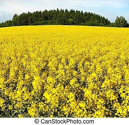 golden field of flowering rapeseed, canola or colza,...