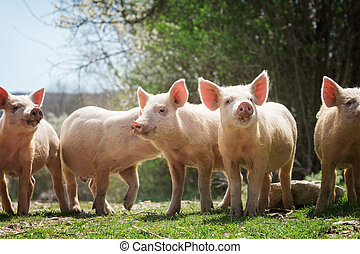 Young pigs grazing on green grass