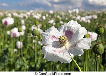 Detail of flowering opium poppy, poppy field - Detail of...