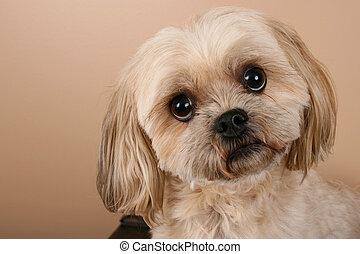 Dog - Portrait of a cute Shitzu dog with light coat