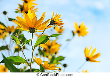 The Jerusalem artichoke Helianthus tuberosus or topinambur...