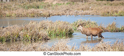 Deer in Salburua, Vitoria, Alava, Spain