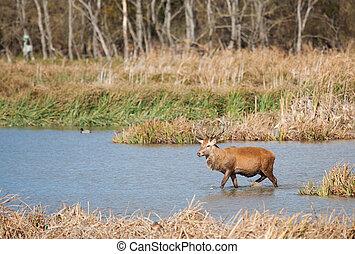 Deer in Salburua, Vitoria, Alava, Spain - Deer in Salburua,...