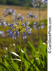 Purple agapanthus flowers in garden in sunny day, selective...
