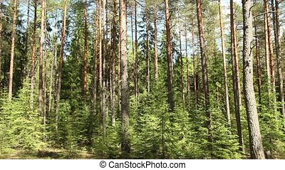 dry pine forest panorama - Pine forest summer sunny day...