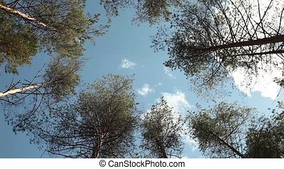 trees High in the blue sky - trees rotate over head High in...