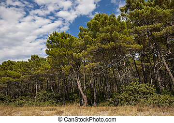 Stone Pine Forest - Mediterranean stone pine forest on the...