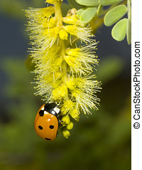 Lady Bug Dining - A Lady Bug native to Arizona dining on the...