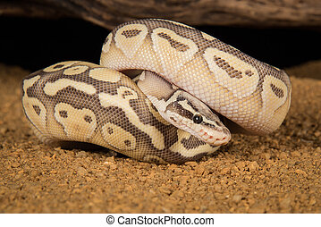 Royal python morph - A super lesser pastel morph of a Royal...