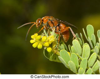 Red Wasp on Mesquite - A red Wasp native to Arizona sitting...