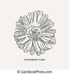 Chrysanthemum  flower  , sketch vector.