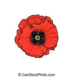 Vector red poppy flower blossom blooming closeup. - Vector...