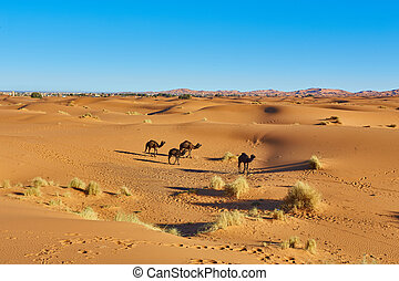 Camel caravan going through the sand dunes in the Sahara Desert