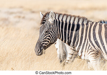 Close-up portrait of burchells zebra with grass in mouth - A...