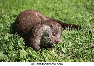Eurasian Otter (Lutra lutra)