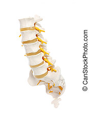 Spine preparation - A close-up of a lumbar part of a spine...