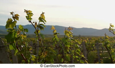 Trunks of grapes with young leaves.