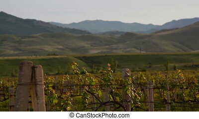 vineyard and hills panorama at evening