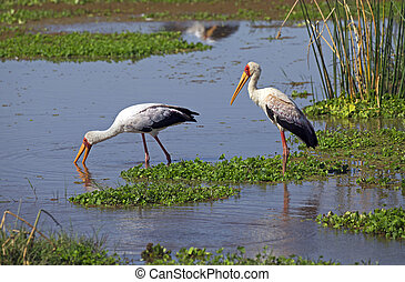African white stork in a pond in Manyara national reserve,...