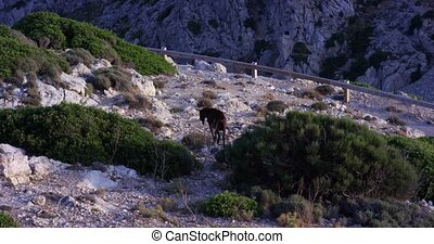 Brown mountain goat standing on a ledge of rock. Mallorca ....