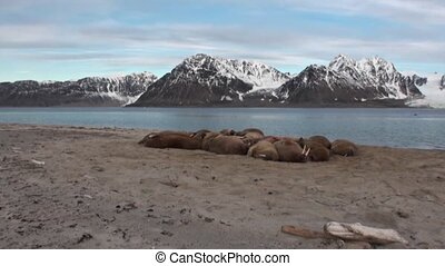 Group of walruses relax near water on shore of Arctic Ocean...