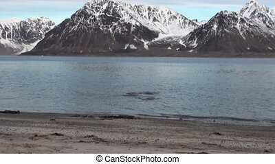 Group of walruses relax in water near shore of Arctic Ocean...