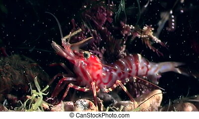 Red shrimp masked in search of food underwater seabed of...