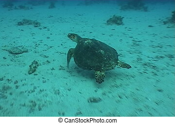 turtle  diving underwater video