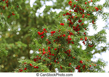 Red berries growing on evergreen yew tree branches, European...