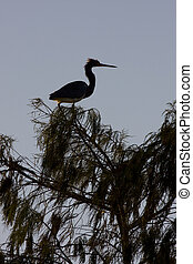 Louisiana Heron - Louisiana or tricolored heron silhouette...