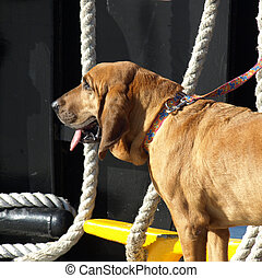 Dog on boat - A large brown dog on a boat looking tired