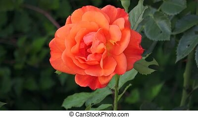 One bright orange rose flower and leaves