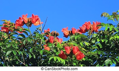 African tulip - close-up of African tulip tree flowers...