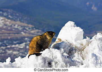 Marmot seen on the top of Mt Evans, Colorado.