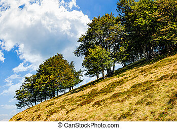ancient beech forest on a grassy lope - ancient beech forest...