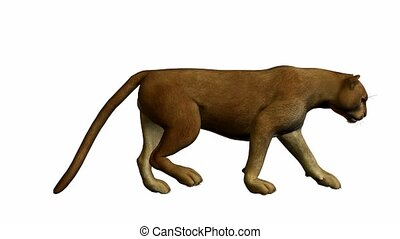 Puma Walking - Puma walking on a white background