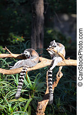 Two Tailed lemurs  (Lemur catta) sitting on a branch