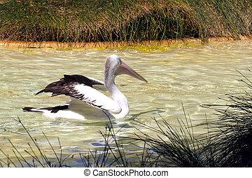 Australian Pelican stretching wings - Pelecanus...