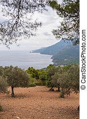 Look over an olive grove on the coast of Majorca