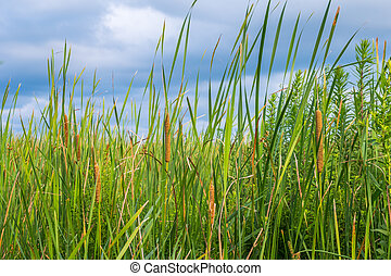reeds at the pond in summer with Typha angustifolia
