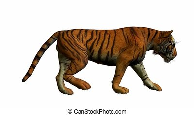 Tiger Walking - Tiger walking on a white background