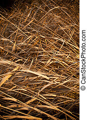 Brown Reeds - Long dry reeds wither in the summer heat