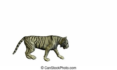 White Tiger Walking - White tiger walking on a white...