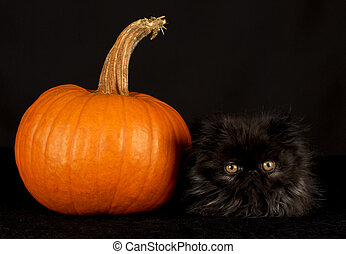 black cat and pumpkin - black persian kitten sitting beside...