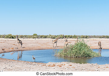 Landscape with Namibian giraffes, impalas, springbok and...