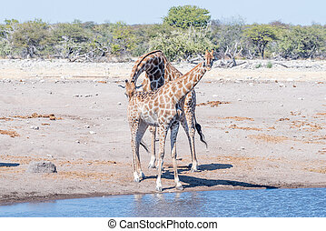 Prüfungen, reproduktiv,  Giraffe, weibliche, Stier, Bedingung,  Namibian
