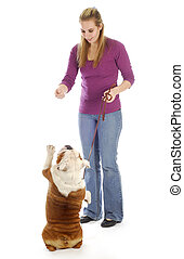 dog obedience - english bulldog being taught how to sit...