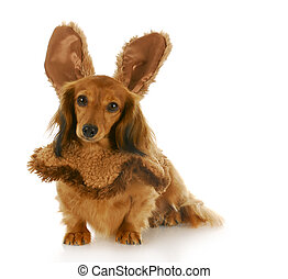 easter dog - adorable dachshund puppy wearing bunny ears...
