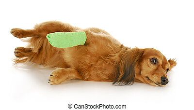 dog with wounded paw - veterinary care - dachshund with a...