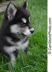 Beautiful Profile of an Alusky Pup Sitting in Grass - Very...